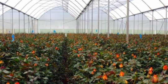 Assessment of the use of highly hazardous pesticides in Kenya's flower farms