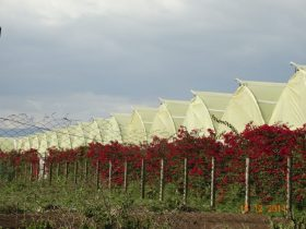 Rapid assessment of the use of highly hazardous pesticides in the flower farms in Naivasha Kenya